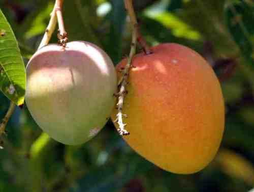 panduri vari mango